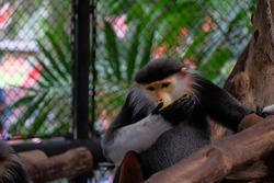 Close-up, selective focus macaque  is eating in a cage. Animal and nature.