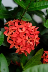 Close up, selective focus of Beautiful Bunga Soka or Asoka Flower or Ixora coccinea blooming in the garden. Noise and grainy texture.