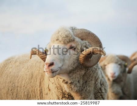 Close-up sheep. Sheep looking at the camera