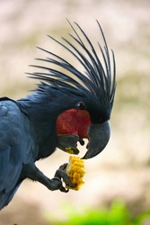 Close up shoot of a parrot eating a corn