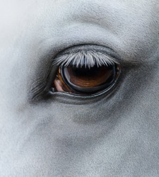 Close up shot - eye of light gray horse