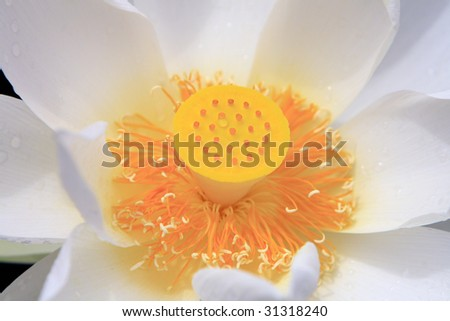 close-up shot for a white lotus flower in blossom
