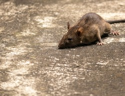 Close up shot mouse, rat, pest rodent, home mouse,