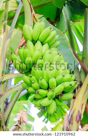 Close up shot of a Banana tree with a bunch of bananas.