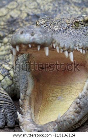 close up shot of a big crocodile.