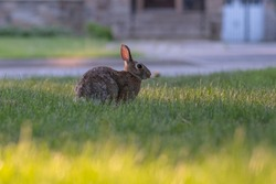 Close up shot of a curious cautious cute brown bunny rabbit eating green grass on a street in residential area. Selective focus, blurred background. Wildlife in a city concept. Space for copy.