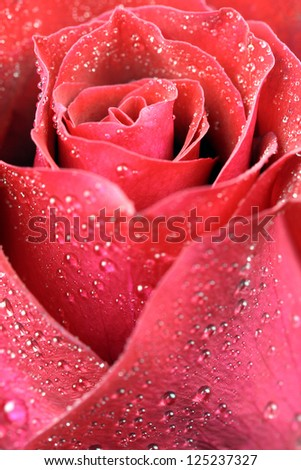 close-up shot of a dark red rose in fresh blossom with droplets