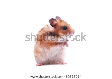 close up shot of a hamster isolated on white