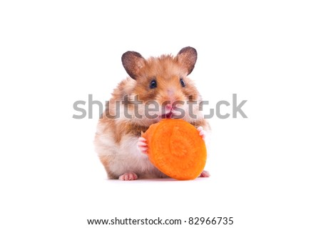 close up shot of a hamster on white background