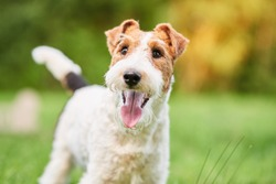 Close up shot of a happy cute fox terrier dog in the park nature animals happiness vitality concept.