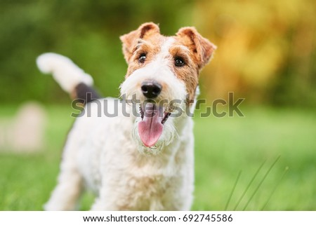 Close up shot of a happy cute fox terrier dog in the park nature animals happiness vitality concept.  #692745586