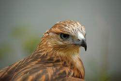 Close up shot of a hawk.