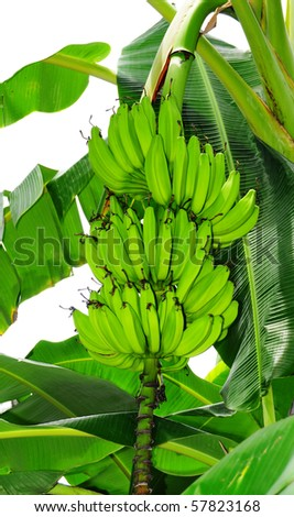 Close up shot of a head of bananas on  a banana tree - stock photo