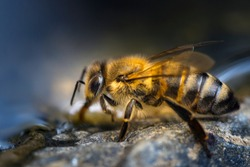 Close up shot of a Honey bee while drinking water at the waters edge.