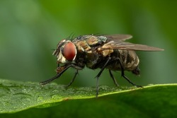 Close up shot of a housefly on a green leaf.