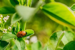Close up shot of a ladybug on a leaf in the meadow