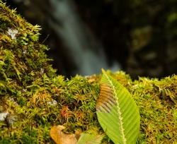 Close-up shot of a leaf on a moss covered boulder located in a ravine about 30 minutes below the peak of Mt. Mitake.