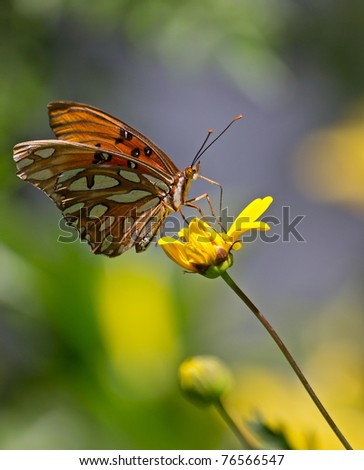 close up shot of a monarch butterfly(danaus plexippus) at rest on a colorful yellow sunflower in early spring,california.