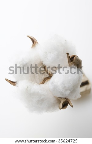 Close-up shot of a natural cotton flower isolated on white