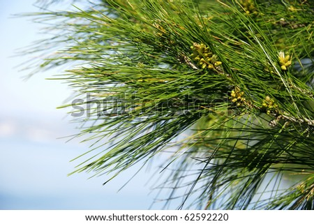 close up shot of a pine tree with cones
