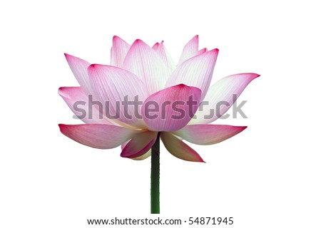 close-up shot of a pink lotus flower isolated