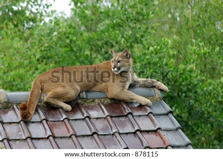 Close-up shot of a puma, cougar resting on a roof of a house. Puma concolor