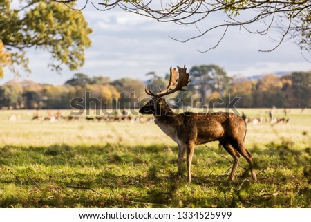 Close-up shot of a Red Deer grazing in Phoenix Park, Dublin, Ireland. Characterised by its white spots, this deer is the most commonly encountered type of deer in Ireland