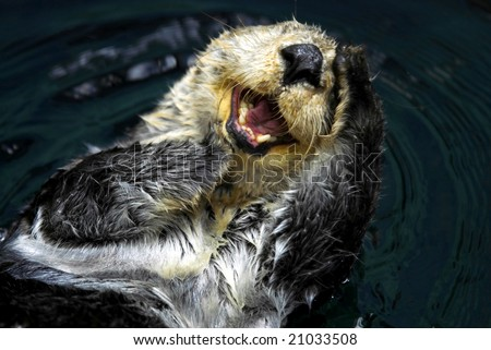 Close up shot of a Sea Otter (Enhydra Lutris)