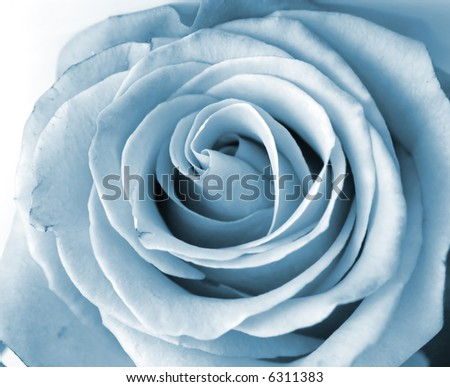 Close-up shot of a silver rose