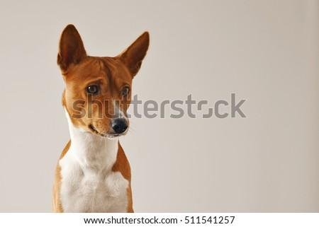Close up shot of a thoughtful focused basenji dog isolated on white #511541257