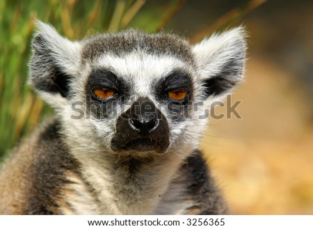 "Close-up shot of a very bored ""ring-tailed"" lemur."