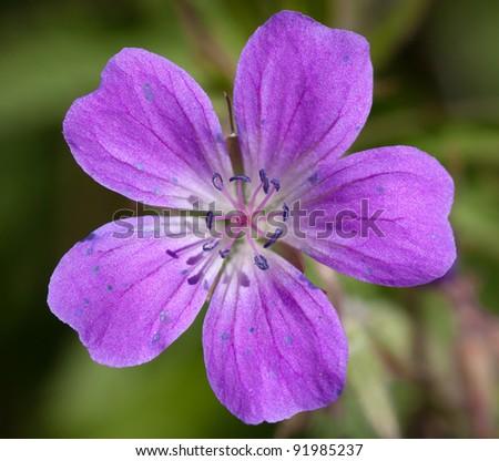 Close-up shot of a Wood Cranesbill or Woodland Geranium flower (Geranium sylvaticum)
