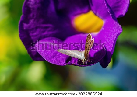 Close up shot of a Zizina labradus butterfly on a Ipomoea nil flower at Taiwan Stok fotoğraf ©