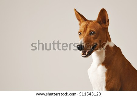 Close up shot of an alert friendly brown and white basenji dog #511543120