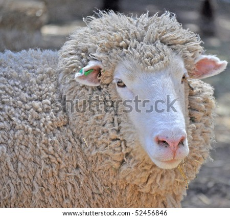 stock photo : close up shot of an Australian adult merino sheep
