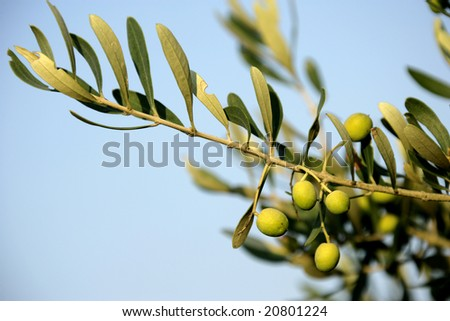 close up shot of an olive tree