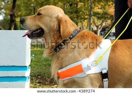 Close up shot of assistant dog