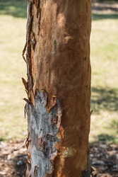 Close up shot of bark peeling off a tree trunk in Pyrmont, New South Wales.