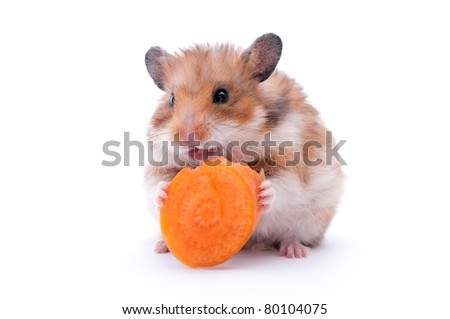 close up shot of black hamster isolated on white