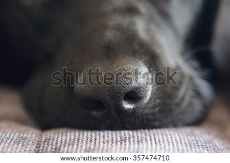 close-up shot of black labrador dog nose