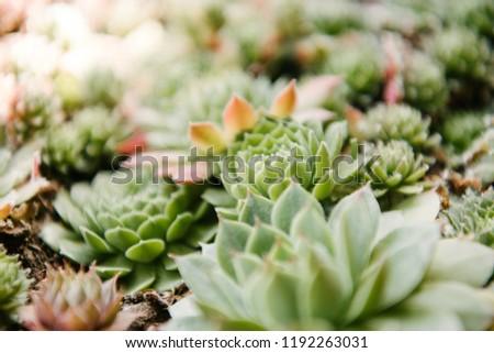 close-up shot of blossoming sempervivum plants