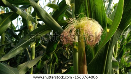 close up shot of corn silk of corn plant in a beautiful sunny day in the field.corn plant in the filed #1563764806