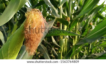 close up shot of corn silk of corn plant in a beautiful sunny day in the field.corn plant in the filed #1563764809