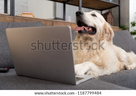 Royalty Free English Bulldog Sitting A Couch With 40742965 Stock