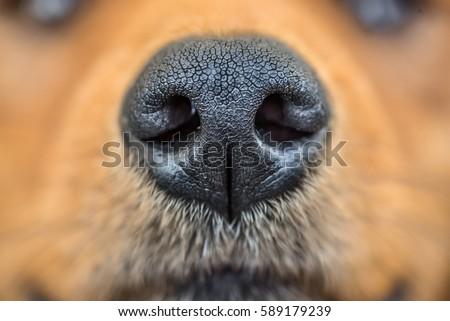 close up shot of dog nose  dog...