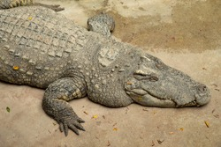 Close up shot of enormous size sleeping crocodile in zoo shows details of skin texture, head and body of great carnivorous animal which is now in endanger wildlife, and needs to be in preservation.