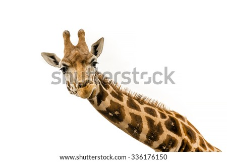 Shutterstock Close up shot of giraffe head isolate on white