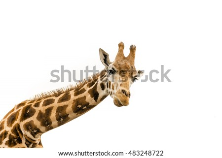 Close up shot of giraffe head isolate on white  #483248722