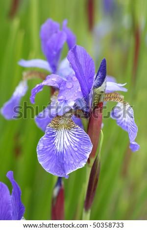 Close up shot of Iris flower in the grden