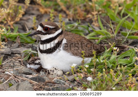 Close up shot of Killdeer bird at nesting time sitting with chicks and eggs on nest